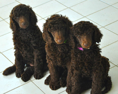 Kennel Avivim Is Specializing In Brown Standard Poodles